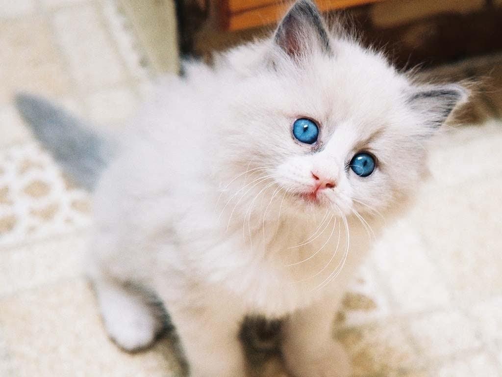 Cara Merawat Kucing Angora Turki, Wajib Tahu!