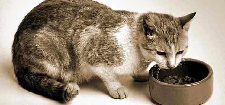 Memilih Makanan Anak Kucing Terbaik, Wajib Tahu!