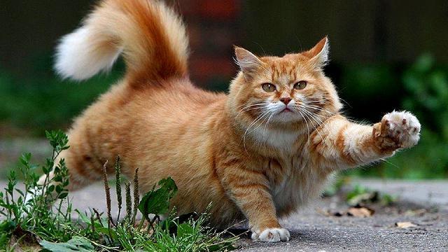 Beberapa Cara untuk Membantu Menurunkan Berat Badan Kucing!