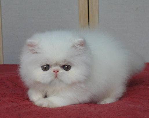 Tips Cara Merawat Kucing Persia, Anda Wajib Tahu!