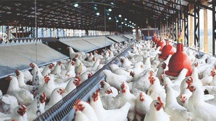 Bisnis Ayam