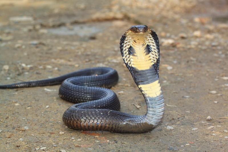 https://pulsadollar.files.wordpress.com/2020/03/teror-kobra-ini-tips-agar-ular-tak-masuk-ke-rumah-wbec94fmkx.jpg